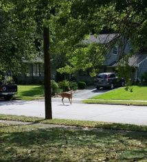 deer-in-front-yard