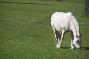 white-horse-in-green-field