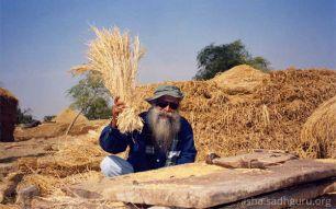 sadhguru wheat